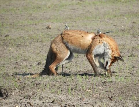 Woede in Petten om tentoonstellen van dode vos in weiland [update]