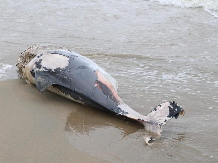 Overleden bruinvis aangespoeld in Noordwijk