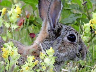 Leiden blijkt een paradijs voor konijnen