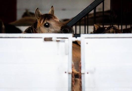 Transport paarden Oostvaardersplassen begonnen
