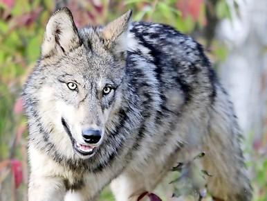 Een grijze wolf.