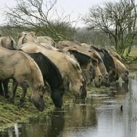 Konikpaarden drinken water in natuurgebied Oostvaardersplassen. S