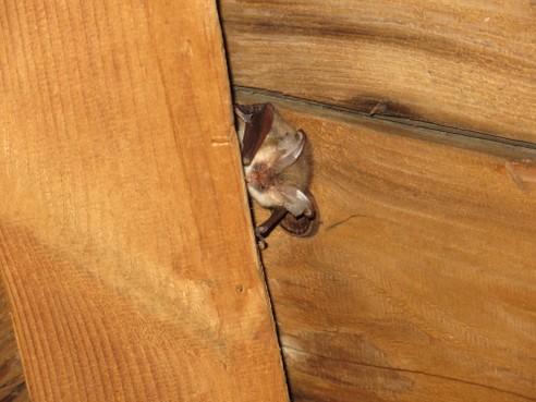 Vleermuizen komen verspreid over de hele stad voor, blijkt uit meldingen van Haarlemmers