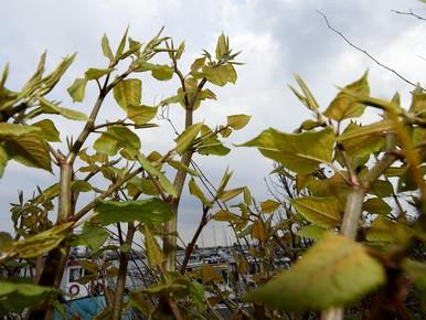 Gemeente Velsen komt met ander plan tegen Japanse Duizendknoop