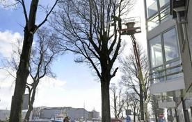Bomen aan de Binnenhaven worden gesnoeid.