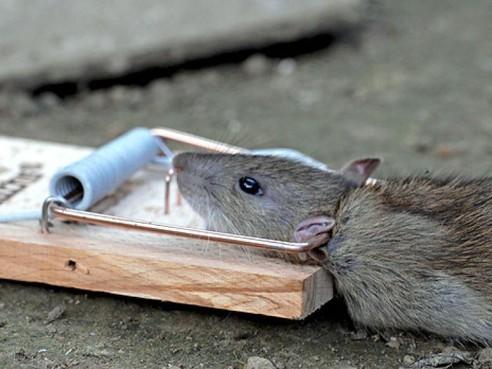 Jaarcijfers HVC: Velsenaar moet afval nog beter scheiden en HVC moest vaker langskomen om ratten te bestrijden