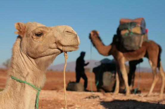 Berber in Afrika en Nederland in opmars
