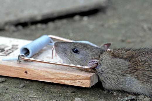 Te veel ratten huizen in riolen Castricum