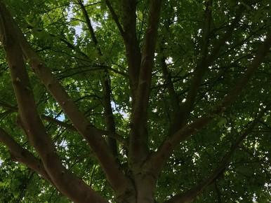 Lieveheersbeestjes bestrijden 'plaksel' van luizen in Heemskerk