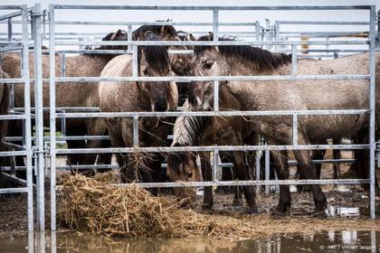 Deel konikpaarden Spanje heeft parasiet