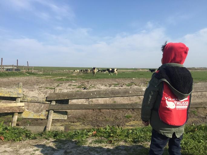 Koeien Huisduinen mogen weer wei in [video]