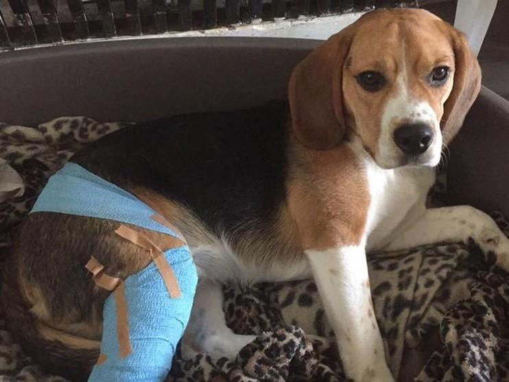Beagle Teun met zijn pootje in het drukverband.