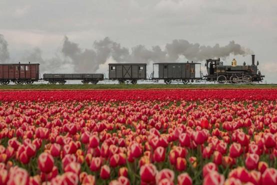 Museumstoomtram Hoorn-Medemblik populair door bloeiende tulpenvelden