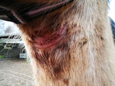 Ilse Medenblik denkt dat haar paard in een paddock in Santpoort-Noord is mishandeld.
