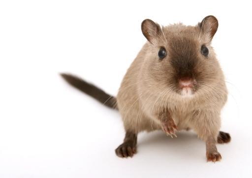 Een verbod op het gebruik van gif om ratten en muizen te bestrijden? Dat is volgens ongediertebestrijders wel een beetje vragen om problemen