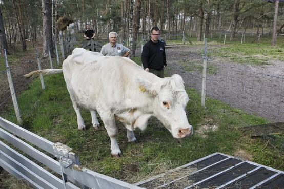 GNR haalt magere koe maar weer op stal vanwege enorme aantal telefoontjes: 'Niet ondervoed, maar revaliderend'