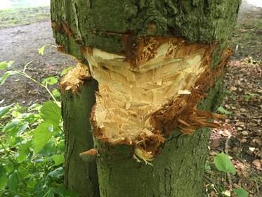 Onbekenden laten spoor van vernieling achter in Beeckestijn: 'Beeldbepalende linde waarschijnlijk niet te redden'