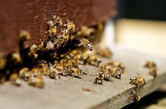 Bijen zwermen weer naar de regio