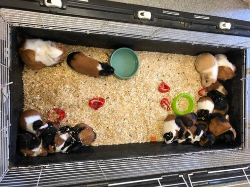 Knaagdierencentrum IJmuiden redt 34 cavia's uit twee kleine kooien