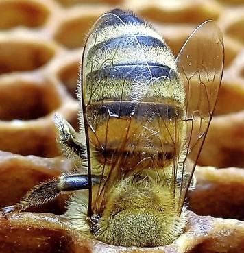 Bollen donderdag grond in voor bijen Eemnes