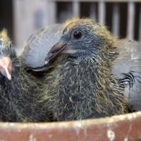 Alle duiven, jong en oud, met of zonder prijs; zelfs de eieren zijn verdwenen.
