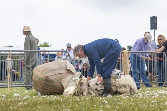 Texelse schapen doen jasje uit op de Dag van het Schaap