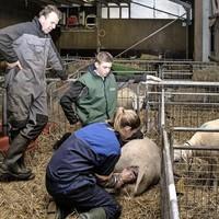 Pieter Kuijer en zijn zoon Bart kijken als Madelon een ooi helpt bij de bevalling.