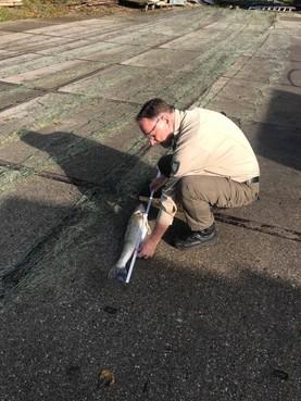 Stropers hadden illegale 'viswand' van 300 meter in Loosdrechtse Plassen, boa's boos over alweer derde vangst in korte tijd