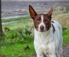 Vermist hondje Tom ontdekt in Den Helder