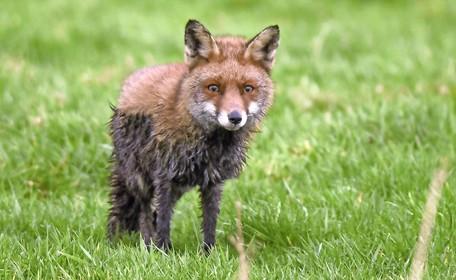 Natuurorganisaties willen meer jagen op de vos