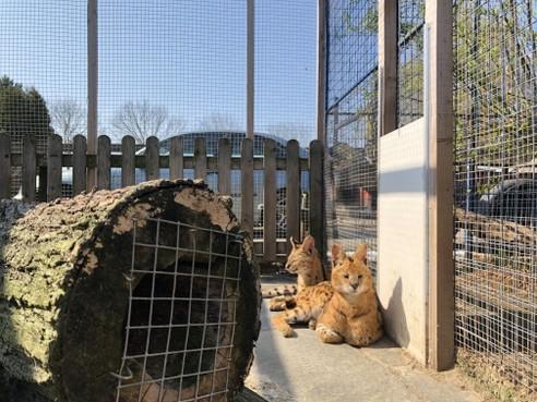Sandra Smits houdt al jaren exotische katten: 'Serval is echt niet gevaarlijk'