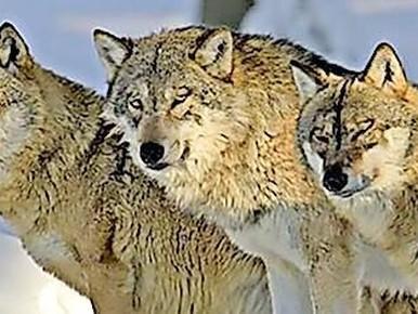 Een nieuwe roedel wolven resideert vlakbij Nederland.