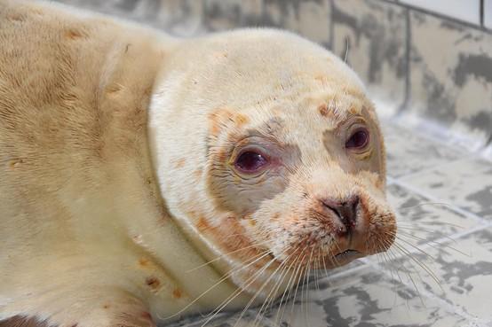 Voor het eerst een albino zeehond in de opvang bij Ecomare