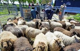 De schapen bij Hoeve 't Woudt in Westbeemster.