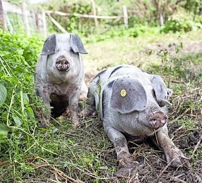 Varkens hebben het goed op boerderij Buitenverwachting in Hoogmade