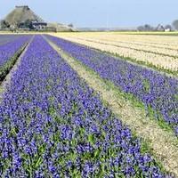 Bloementapijt van hyacinten aan de Kortevliet in Julianadorp.