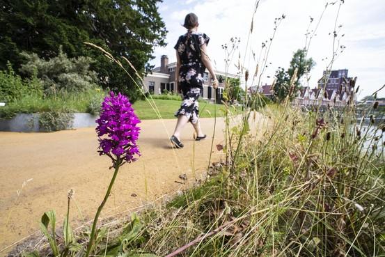 Zeldzaam hondskruid zoekt zelfstandig Leidse Hortus botanicus op