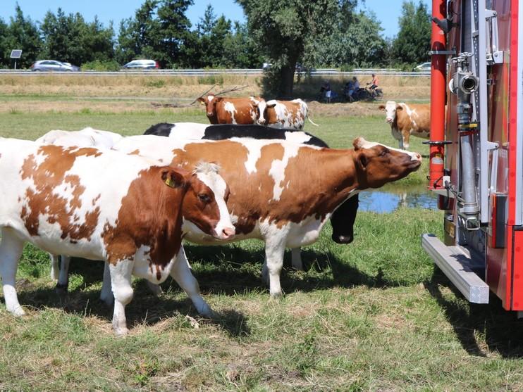 Brandweer redt koe uit sloot in Sassenheim, automobilist zorgt voor hinder