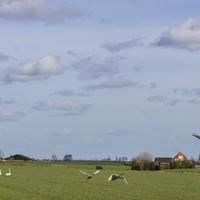 In de polder tussen Leiderdorp en Oud Ade stikt het van de zwanen.