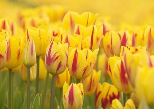 Tulpmuseum in Lisse wil groeien: 'We moeten uit de gevarenzone komen'