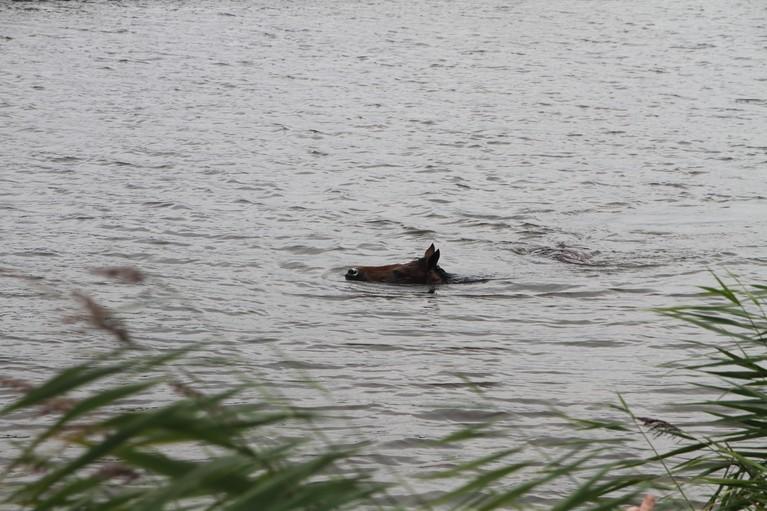 Paard gered na drie kilometer zwemmen in Noordhollandsch Kanaal