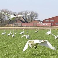 Jonge zwanen op grasland langs de N9 bij De Stolpen.