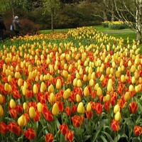 Hollandse tulpen.