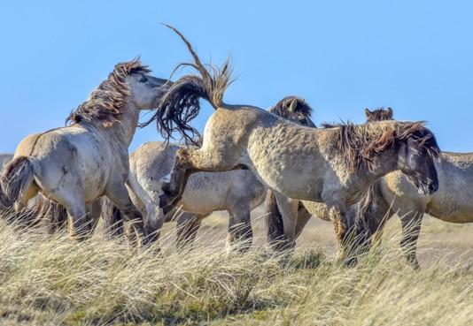 Kritische paardenvrienden hoeven niet bang te zijn: kreupele konik op Texel wordt extra in de gaten gehouden, zegt kuddebeheerder