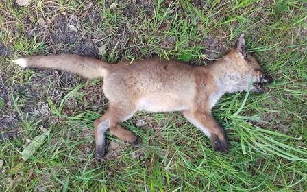 Ecoloog Ecomare vindt dode vos op Texel niet grappig: 'Zo'n actie is schadelijk voor het eiland'