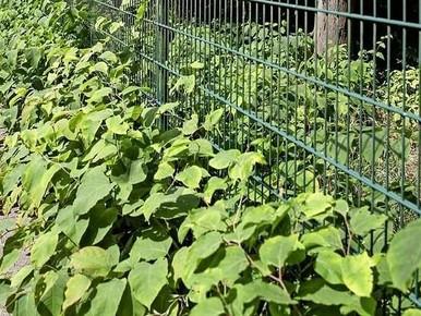 'Groene bestrijding Duizendknoop in Velsen zes keer duurder'