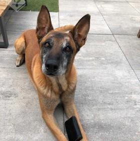 Gepensioneerde politiehond Joop vindt in Voorschoten gestolen portemonnee