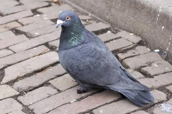 Slapeloze nachten door duiven van de buurman