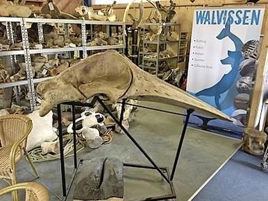 Noordzeevisser Adrie Vonk en een deel van zijn walviscollectie op Texel, tweede van rechts (onder) zijn potvistand.