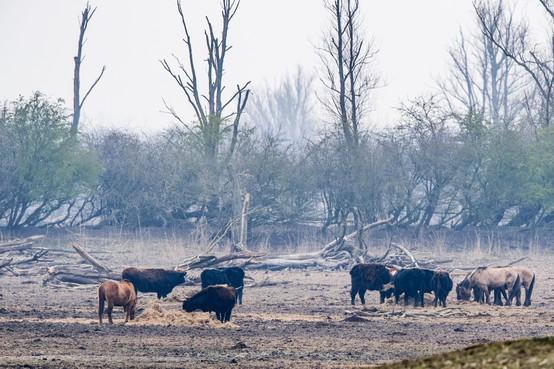 Advocaat Halfweg: 'Haal dieren uit giftige natuur Flevoland'